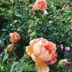 満開の薔薇が楽しめます